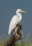 Egret Bird. Perched on a tree stump with blue sky as a background Stock Photos