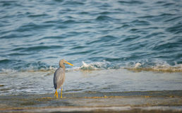 Egret Bird by the Sea Royalty Free Stock Image