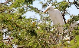 Egret bird standing in a tree Royalty Free Stock Photography