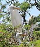 Egret bird standing in a tree Stock Photography
