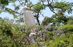 Egret bird standing in a tree Royalty Free Stock Photos