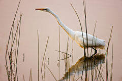 Egret bird wading in lake Royalty Free Stock Images