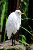 Egret Bird Stock Image