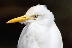 Egret Bird. White Egret Bird with yellow beak Royalty Free Stock Images
