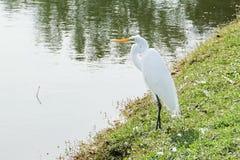 Egret Birding Is Looking For Food Stock Photos