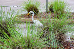 Egret birding is looking for food Stock Photography