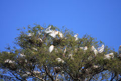 Egret birds nesting in trees Stock Images