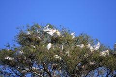 Egret birds nesting in trees Stock Images