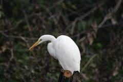 Egret blanco   Fotografía de archivo libre de regalías