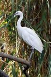 egret blanco Fotos de archivo libres de regalías