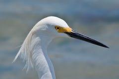 egret blanco Imagen de archivo