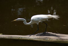 Egret blanco Imagenes de archivo