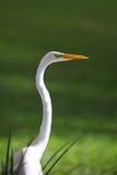 Egret blanco como la nieve Foto de archivo libre de regalías