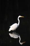 Egret blanco con la reflexión en fondo negro Foto de archivo