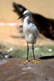 Egret blanco en roca Fotos de archivo libres de regalías