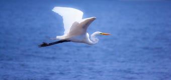 Egret blanco en vuelo Foto de archivo
