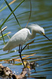 Egret blanco por el lago Fotos de archivo