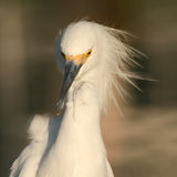 Egret With Blown Away Plumes Stock Images