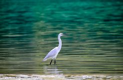 Egret in blue water of ganga rishikesh beautiful background royalty free stock photography