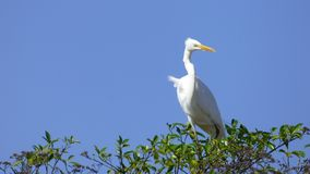 Egret in Bolivia, south America. Royalty Free Stock Image
