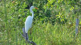 Egret in Bolivia, south America. Royalty Free Stock Photos