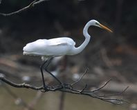 Egret on branch Stock Photo