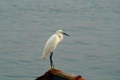 Egret branco Imagem de Stock