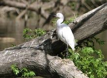 Egret branco Imagens de Stock