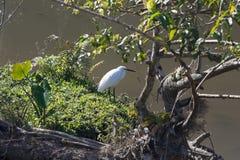Egret branco ao lado do lago no parque nacional de Khaoyai Foto de Stock Royalty Free