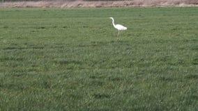 Egret branco em um campo verde que voa afastado vídeos de arquivo