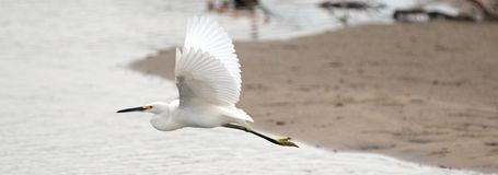 Egret branco em voo sobre a lagoa da conserva de natureza de San Jose del Cabo em Baja California México imagem de stock royalty free
