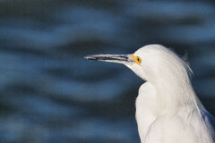 Egret branco na costa Foto de Stock Royalty Free