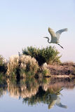 Egret branco no vôo Fotografia de Stock