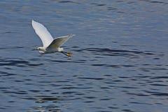 Egret branco no vôo Imagens de Stock Royalty Free