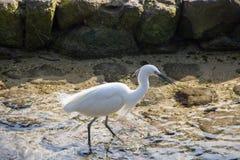 Egret branco pequeno rodeado Imagens de Stock
