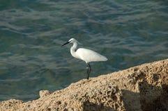 Egret branco pequeno rodeado Imagens de Stock Royalty Free