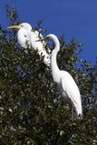 Egret branco que descansa nas árvores no parque estadual da garganta do bloqueador, Texas imagem de stock royalty free