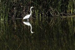 Egret branco que está na água com reflexão Fotos de Stock Royalty Free