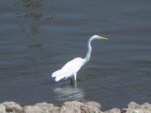 Egret branco que procura o almoço Imagem de Stock Royalty Free