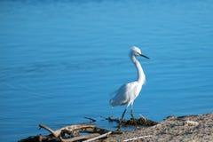 Egret branco Windblown no estuário de Santa Clara River em Ventura California EUA imagens de stock