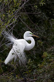 Egret in breeding plumage. Beautiful Great White Egret showing breeding plumage while building a nest Royalty Free Stock Photography