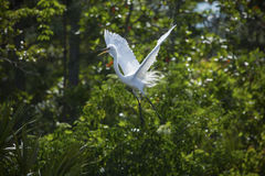 Egret with breeding plumage, flying in a Florida wetlands. Stock Image