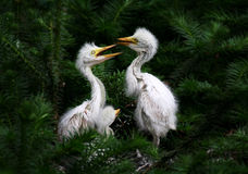 Egret brothers. Are playing on trees stock images