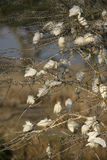 Egret скотин, Bubulcus ibis стоковое фото