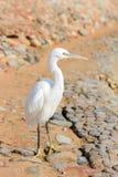Egret, Bubulcus ibis. White egret, white bubulcus ibis Royalty Free Stock Image