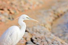 Egret, Bubulcus ibis Royalty Free Stock Images