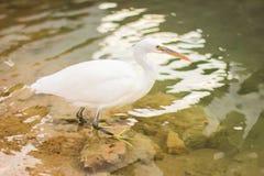 Egret, Bubulcus ibis Royalty Free Stock Photos
