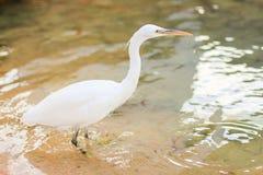 Egret, Bubulcus ibis. White egret, white bubulcus ibis Royalty Free Stock Images