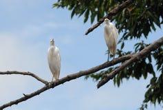 Egret bydło Zdjęcie Royalty Free