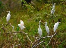 Egret bydło Fotografia Stock